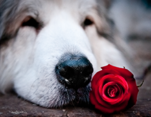 A-Rose-Is-A-Rose-Is-A-Nose-8x10-photo-print