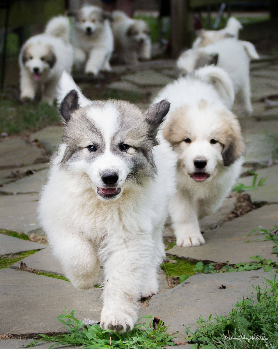 The-Running-Of-The-Pups-goldfih-communications-great-pyrenees-photography-by-debra-fisher-goldstein