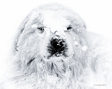 Yeti-black-and-white-lustre-photo-print