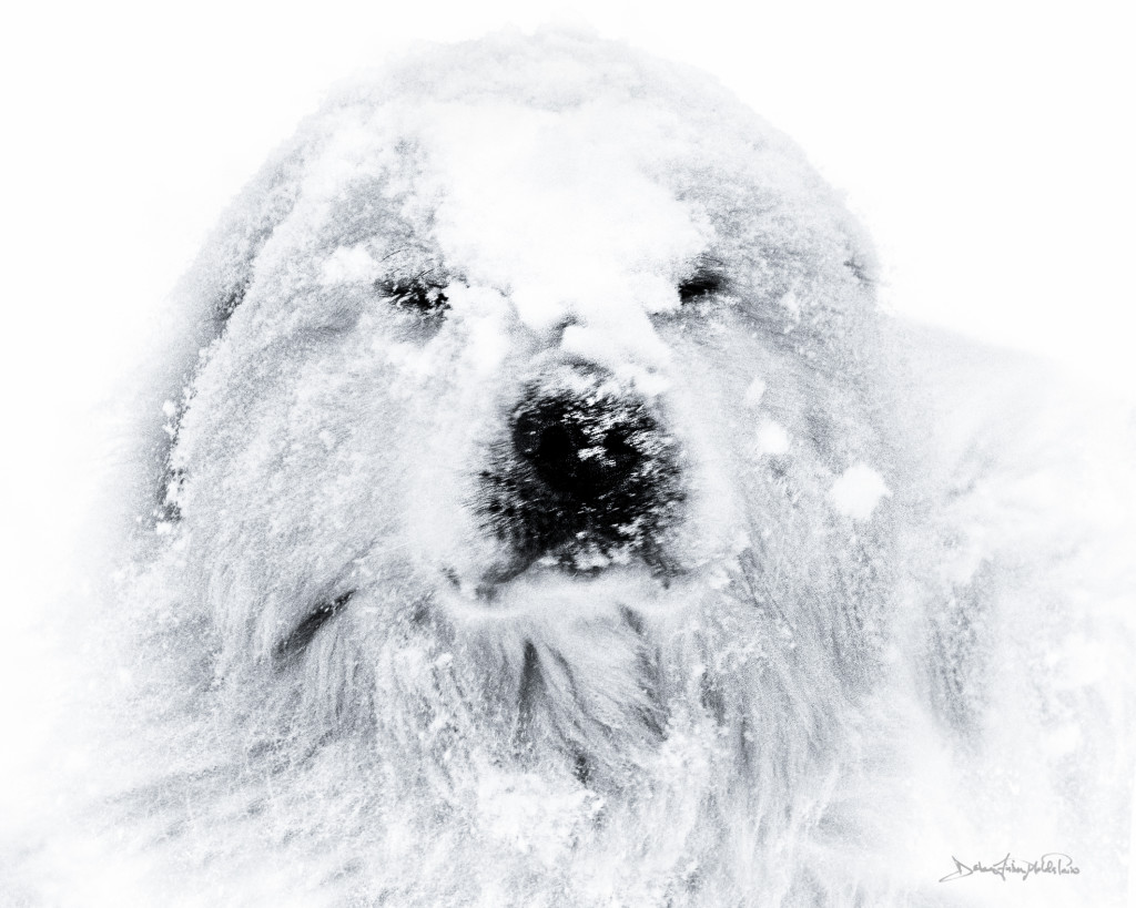 Yeti black and white photo print on archival lustre paper